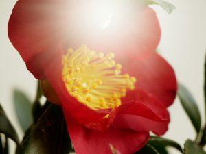 kvet-cerveno -zlty